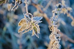 Branston Water Park, frosted nettles