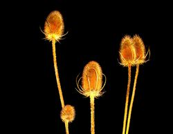 Teasel Time at night