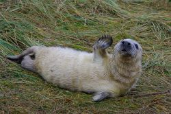 Grey Seal pup at Donna Nook
