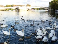Swans and ducks, River Thames, Reading