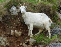 Goats  on the hillside near Conwy