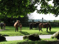 Dartmoor ponies by Widecombe-in the-Moor Church