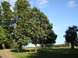 Queen Elizabeth's Memorial Oak Tree