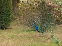 Peacock in Wicksteed Park