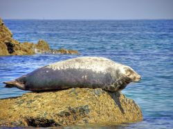 Seal at St Ives, Cornwall