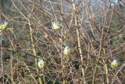 Bunch O' Birds in a bush.