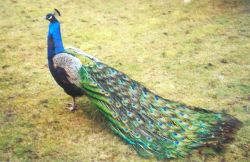 Peacock in Bradgate park leicester