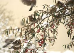 Winter Fieldfares
