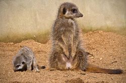 Colchester zoo, Meercats