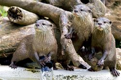 Family of Otters