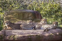 Colchster zoo, Family of Cheetahs.