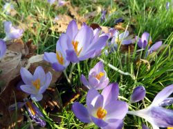 First signs of Spring, Crocus