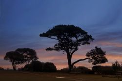 Scots Pine in Lepe