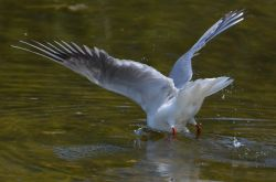 Black-headed Gull fishing