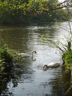 Swans on the Norfolk Broads