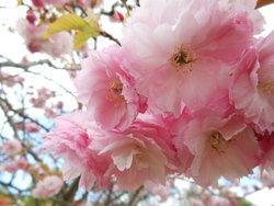 Cherry Blossom, Cheltenham