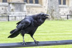 Tower of London Raven