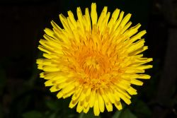 Yellow Dandelion, Colnbrook