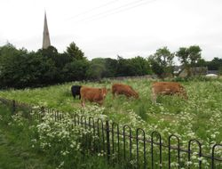 Irchester Church and cattle