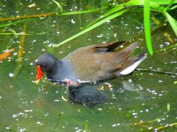 A Moorhen and it's chick in Watermead