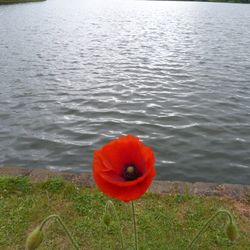 Poppy at Worsbrough Mill Dam