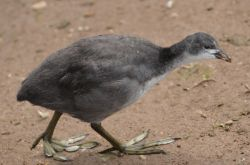 Young coot, Swithland Reservoir