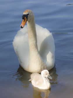 Mother and baby (Cygnet)