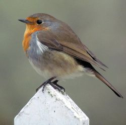 Robin on the gate, Eastcote village