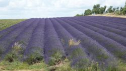 Lavender Fields at Snowshill