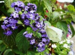 Butterfly, Shrewsbury