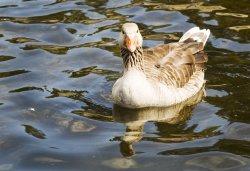 Derwentwater Goose
