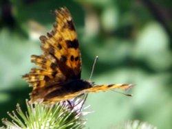 Comma Butterfly, Little Baddow