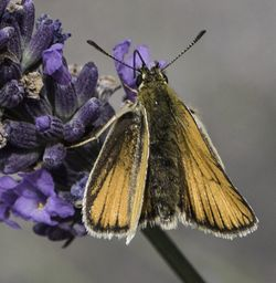 Lynton, Watersmeet, Small Skipper Butterfly