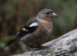 Male Chaffinch, Watersmeet, Lynton