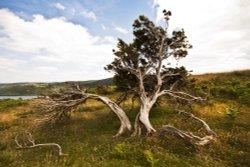 Torver Common Tree Coniston