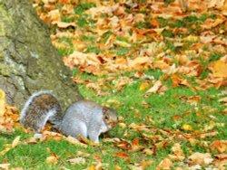Squirrel in Caldecott Park, Rugby