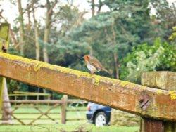 Robin, Haycrafts Lane, Swanage