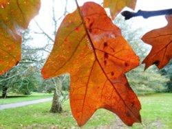 Autumn leaf, Kew Gardens