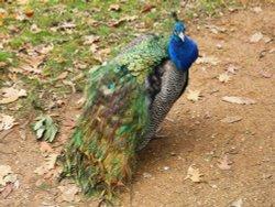 Peacock, Kew Gardens