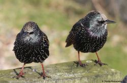 Starlings at Felixtowe