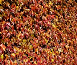 Autumn Colour on the wall at Greenwich Park