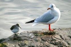 Dunlin and Black-headed Gull. At Herrington.