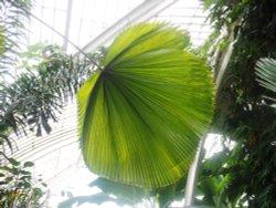 Palm, Kew Gardens