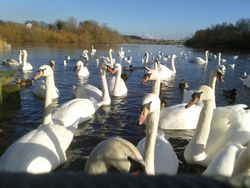 Swans at Fairburn Ings Nature Reserve