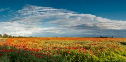 Poppy field, near Chatteris, Cambridgeshire