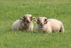 Sheep at Calke Abbey, Ticknall, Derbyshire Wallpaper