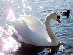 Swan & stars