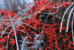 barnsleys winter berries