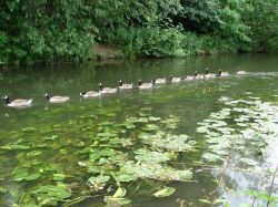 Line astern - River Colne Rickmansworth