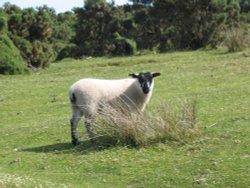 Exmoor - Sheep - June 2003